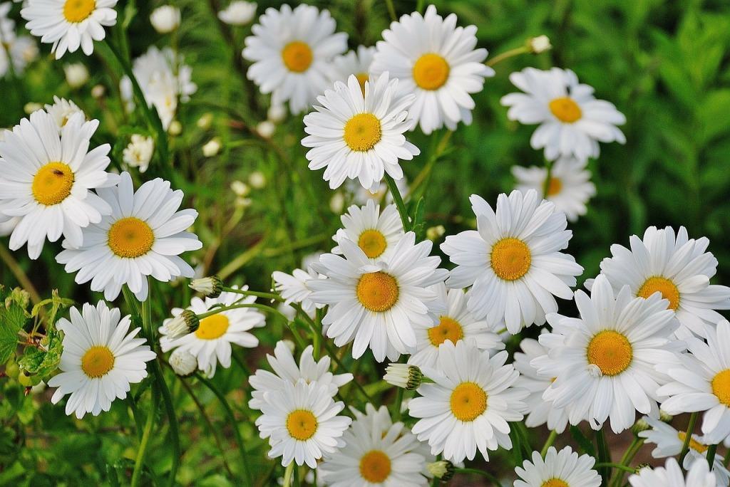 daisy-165292_1280