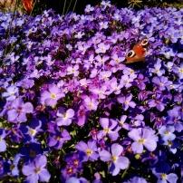 Bildcredits: Dorisworld.at   Blumen und Schmetterling im heimischen Garten