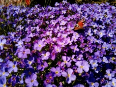 Bildcredits: Dorisworld.at | Blumen und Schmetterling im heimischen Garten