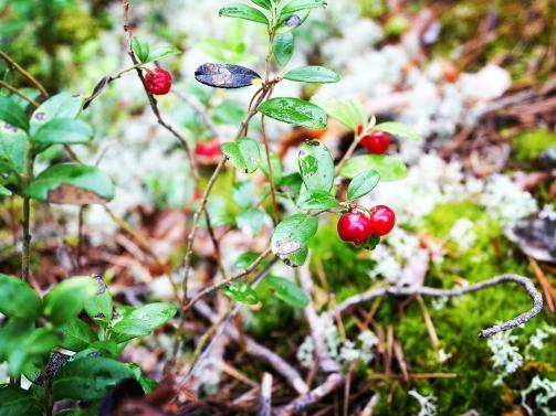 Bildcredits: Dorisworld.at | Wilde Preislbeeren - im Nationalpark