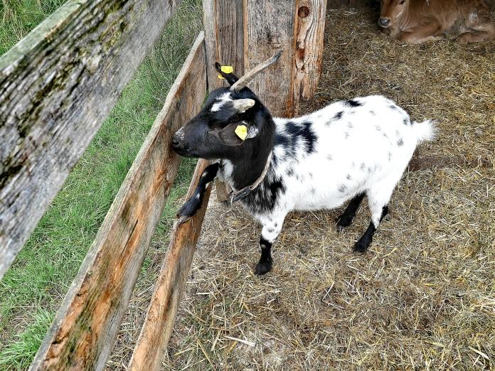 Bildcredits: Dorisworld.at | Ziege auf Sinnlehen-Alm